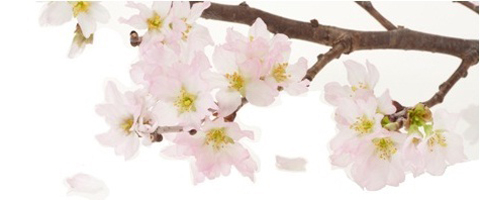 Cherry-blossom-4