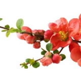 Japanese-quince